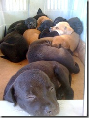 culebra rescue pups